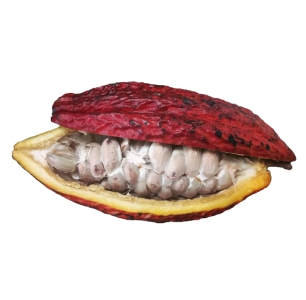 vaina de cacao fresca