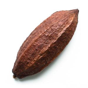 Vaina de cacao seca